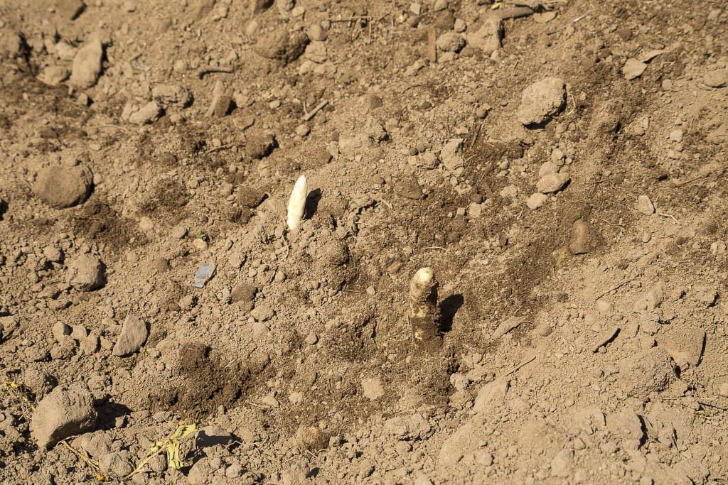 Så länge sparrisen är under jord så förblir den vit | Foto: Michael Krantz